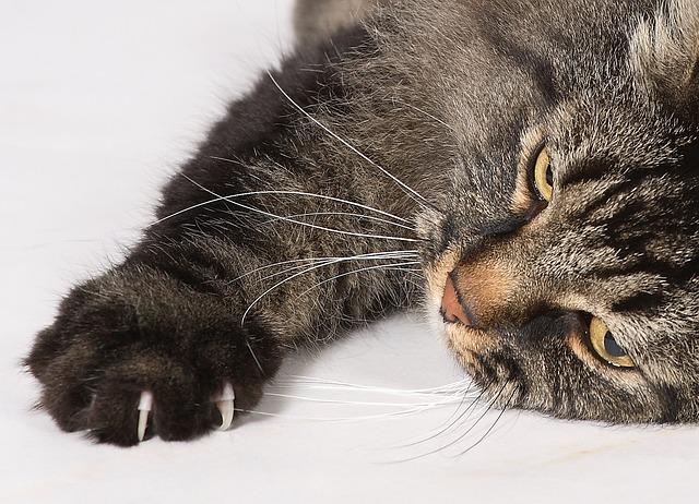 Annemasse maladie griffes du chat