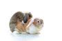 Stérilisation du lapin