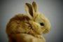 Données physiologiques du lapin